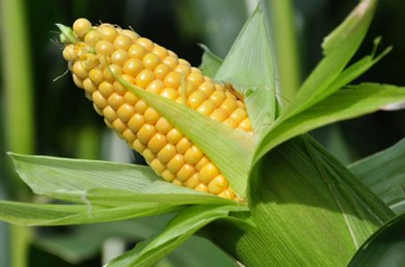 How Nigeria can turn maize production to revenue spinner – DFID