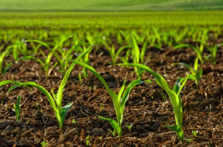 ABP: CBN supports 2000 hectares of rice farms in Borno