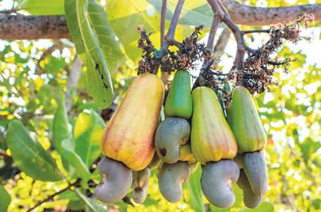 Ogun Govt Tasks Cashew Farmers On Processing