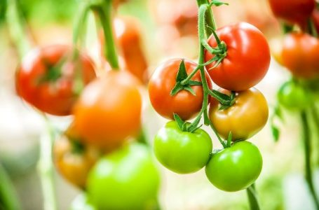 Tomato Production: TOPAN to train 1,000 young farmers