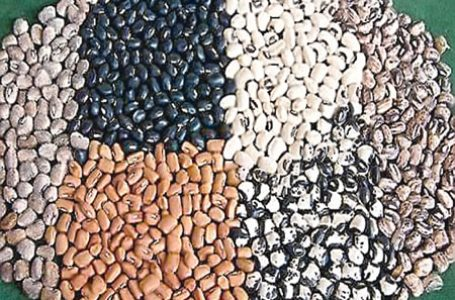 What Nigeria Will Benefit From The Commercialised GM Cowpea