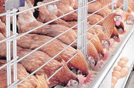 Your Body May Develop Resistance To Antibiotics After Consuming Chicken, Eggs ― Expert