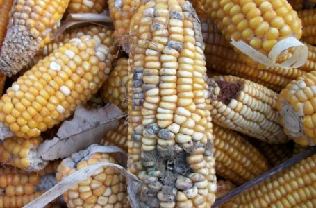 Aflatoxin in Grains: Threat, Risk Management and Control