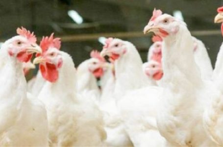 What poultry farmers need to know about Newcastle disease