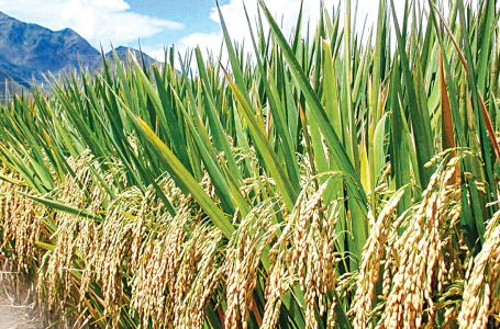 How insecurity threatens Nigeria's rice export plans