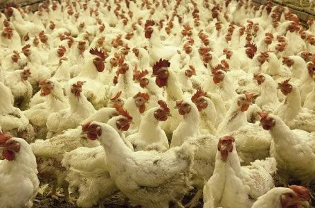 Ogun Targets 50,000 Young Farmers for Poultry Project