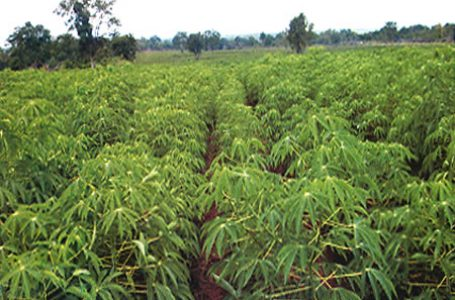 Tackling Child Labour In Cassava Farming Through Improved Weed Control