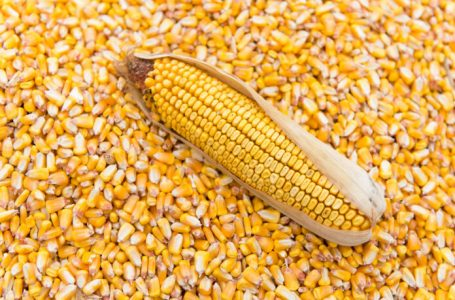 CBN Bans Issuance of Forex for Maize Importation