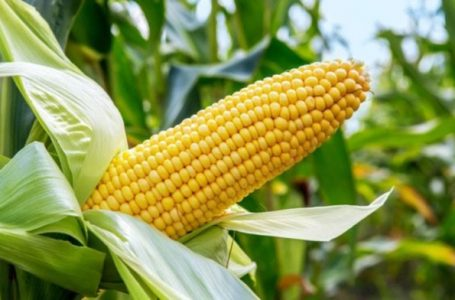 As farmers seek import ban, Nigeria buys same quantity of maize abroad