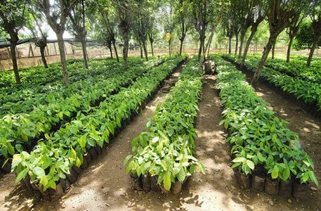 Osun Lawmaker Supports Cocoa Farmers with 20,000 Seedlings