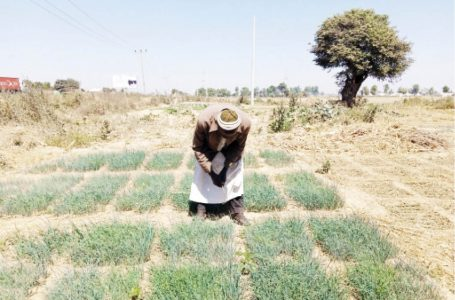 Farmers In Mass Onion Production To Crash Price